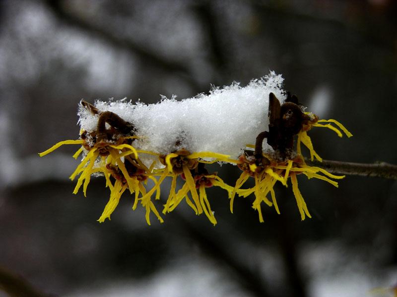 Japanische Zaubernuss (Hamamelis japonica)