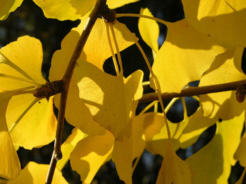 Herbstfärbung der Ginkgobaumblätter (Ginkgo biloba)