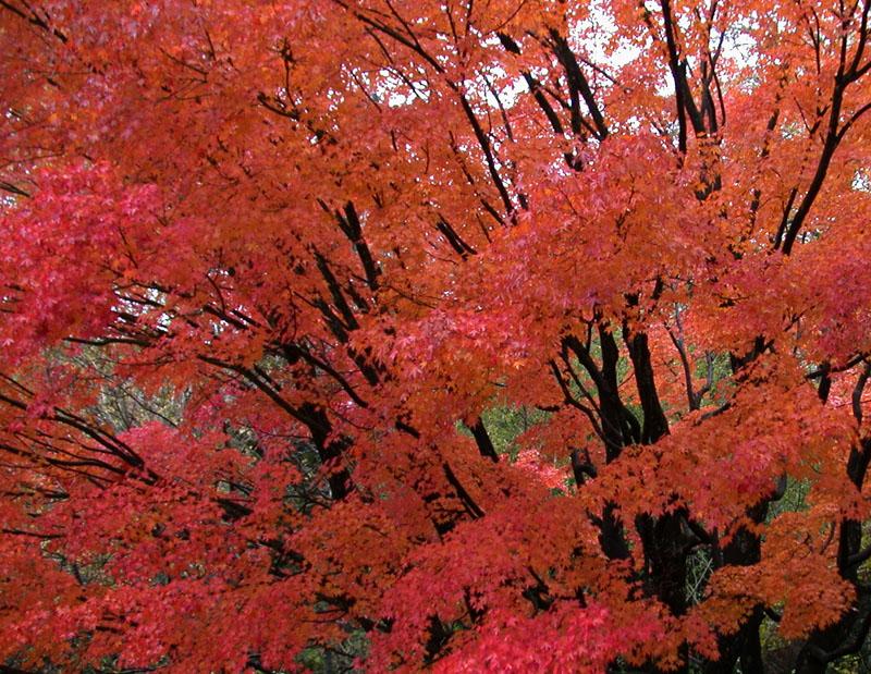 Herbstfärbung des Fächer-Ahorns (Acer palmatum)