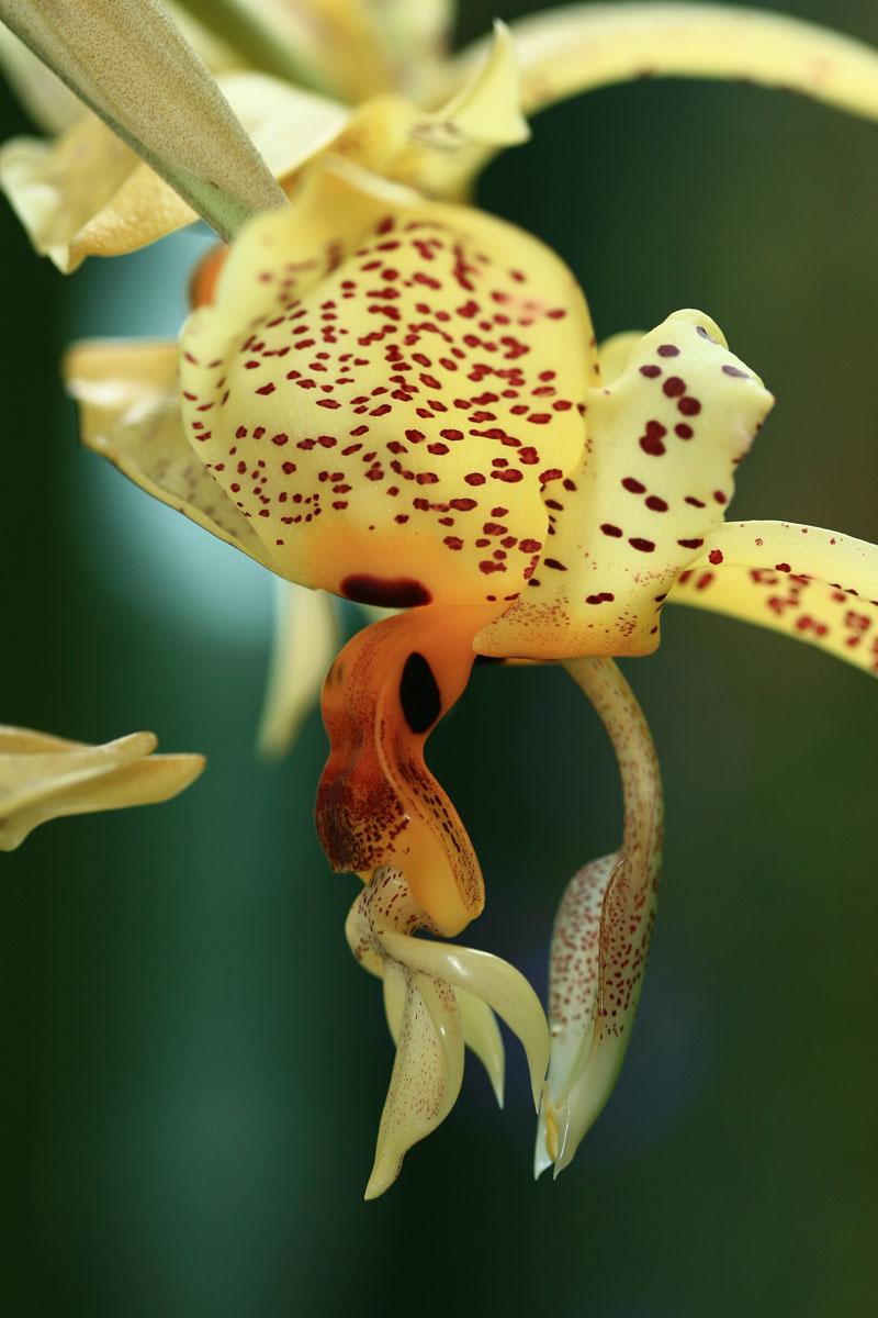 Augen-Stanhopee (Stanhopea oculata)