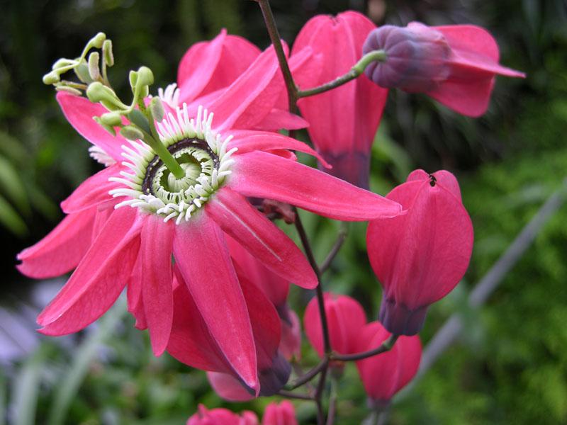 Rote Passionsblume (Passiflora racemosa)