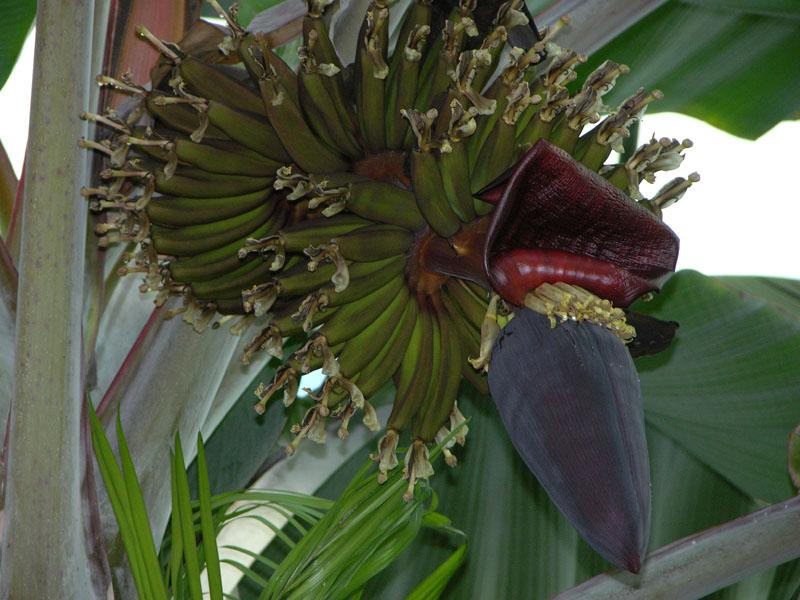 Bananen-Fruchtstand (Musa sp.)