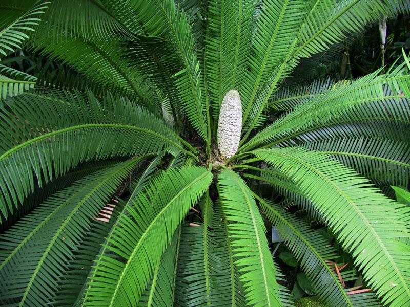 Essbarer Doppel-Palmfarn (Dioon edule)