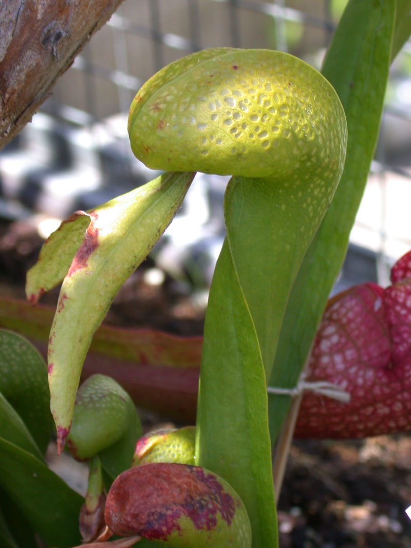Kobrapflanze (Darlingtonia californica)