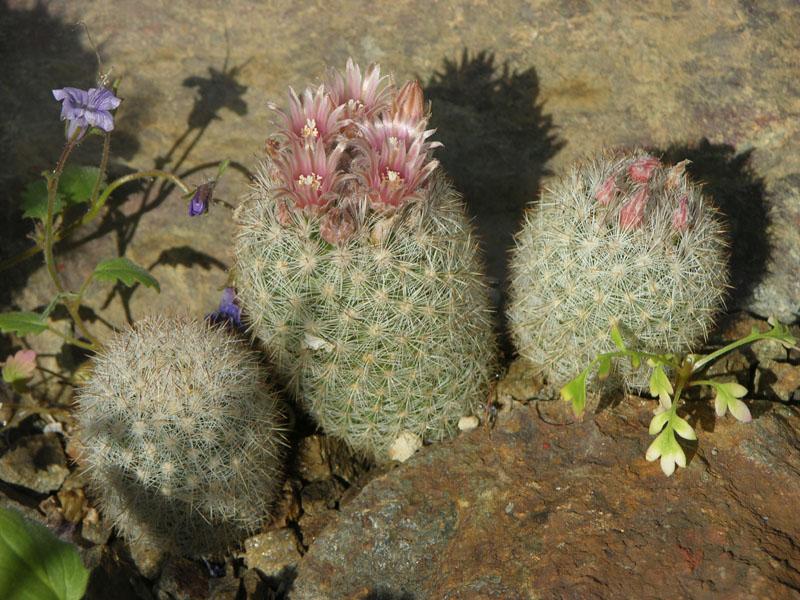Escobaria orcutti var. macraxina