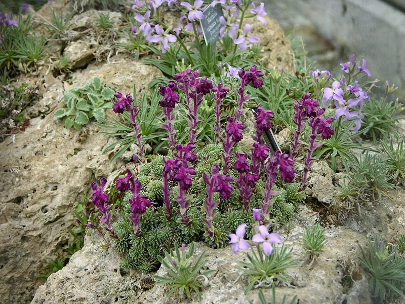 Steinbrech (Saxifraga sempervivum) und Walliser Levkoje (Matthiola valesiaca)