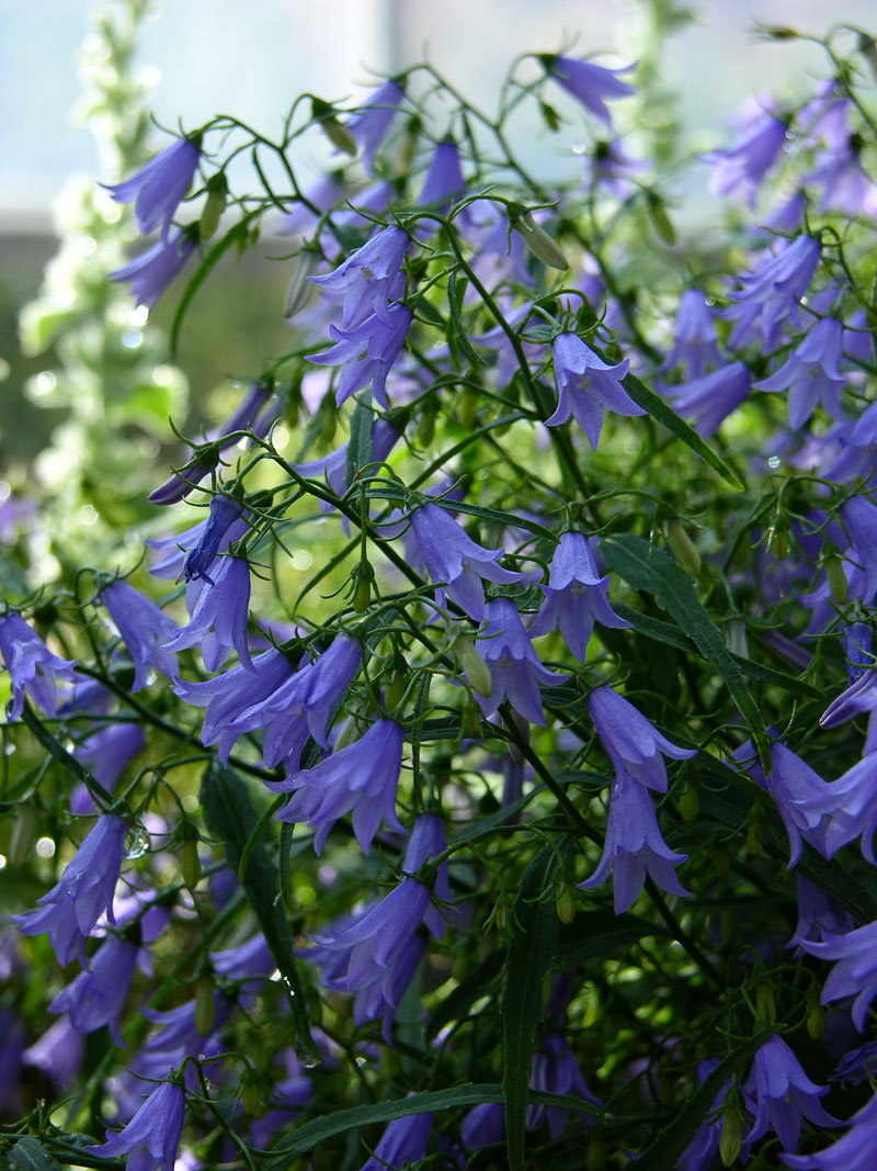 Waldstein-Glockenblume (Campanula waldsteiniana)
