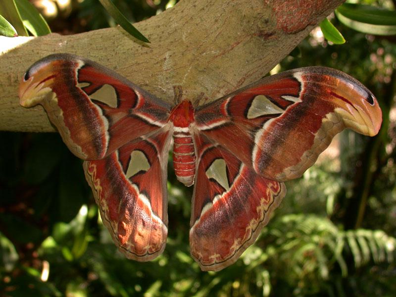 Der Atlasspinner (Attacus atlas) ist der grösste Schmetterling der Welt. Seine Heimat ist Thailand