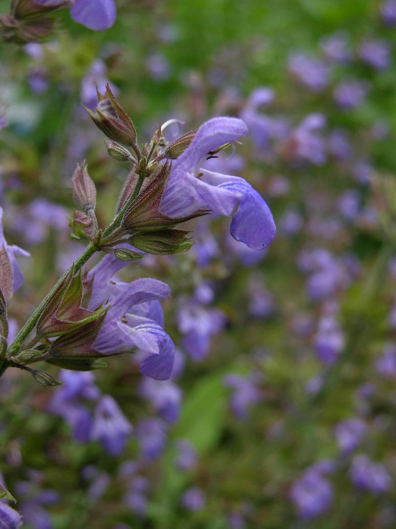 Echte Salbei (Salvia officinalis)