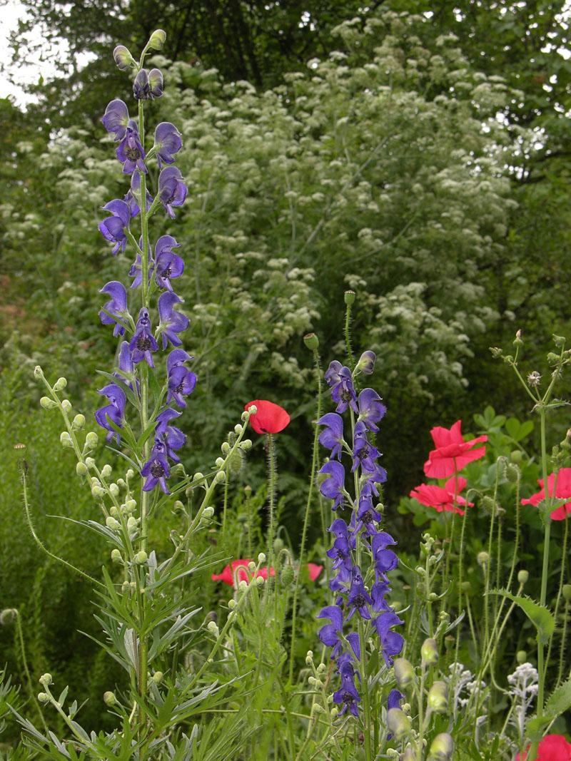 Blauer Eisenhut (Acontium napellus), Klatschmohn (Papaver rhoeas) und Gefleckter Schierling (Conium maculatum)