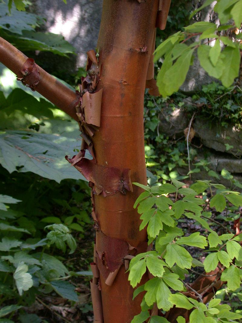 Zimtahorn (Acer griseum)