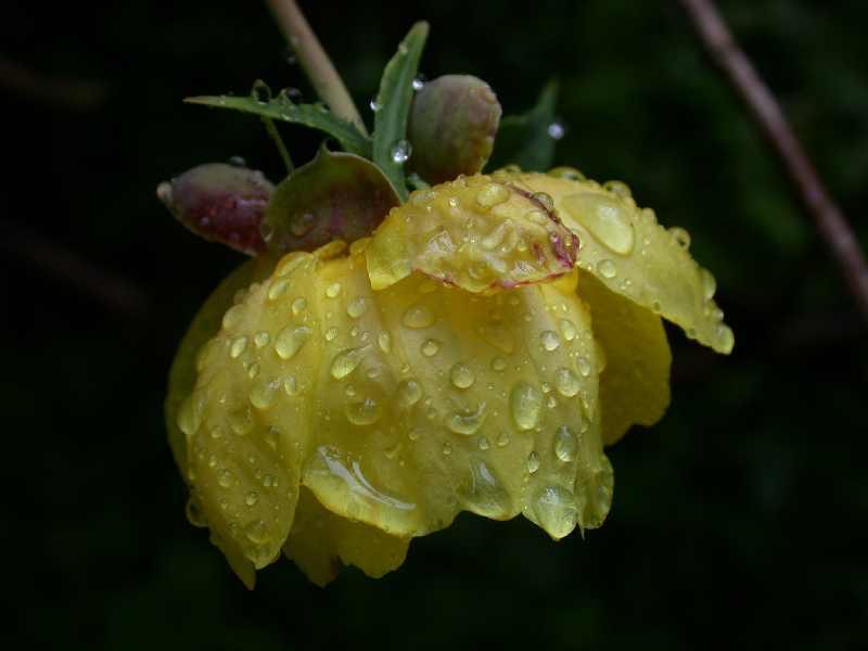 Gelbe Pfingstrose (Paeonia lutea)