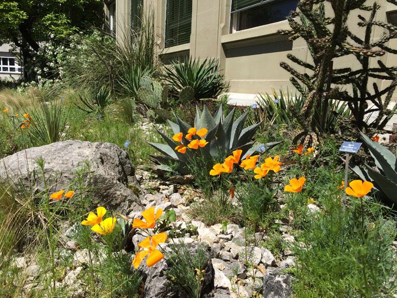 Die Freilandsukkulenten an der geschützen Wand des Instituts für Pflanzenwissenschaften, im Vordergrund die leuchtenden Eschscholzia californica