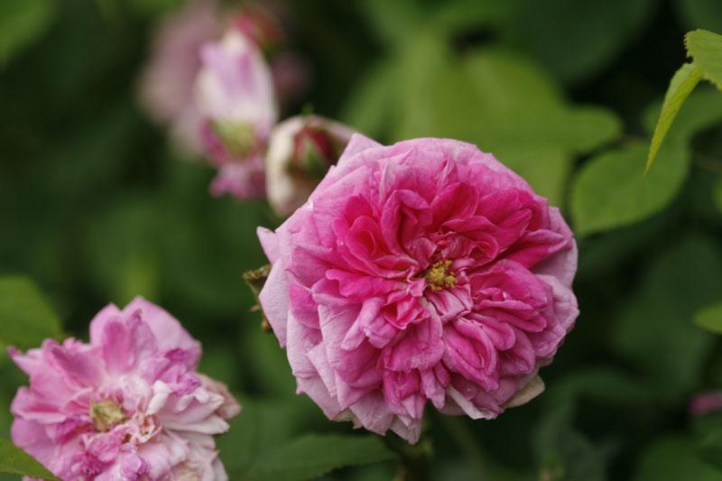 Tausendblättrige Rose, Zentifolie (Rosa centifolia)