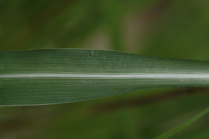 Zitronengras (Cymbopogon citratus): Blattdetail