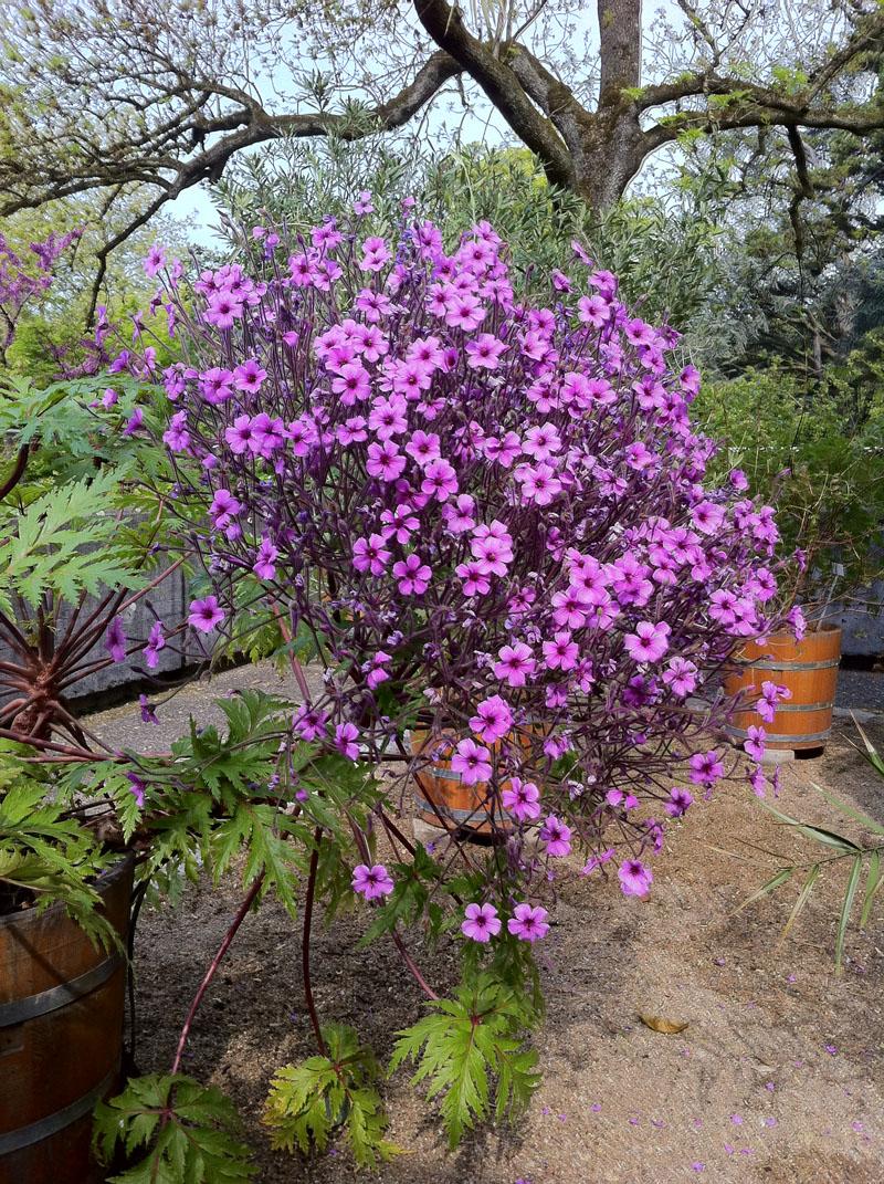 Madeira-Storchenschnabel (Geranium maderense) ein Madeira-Endemit