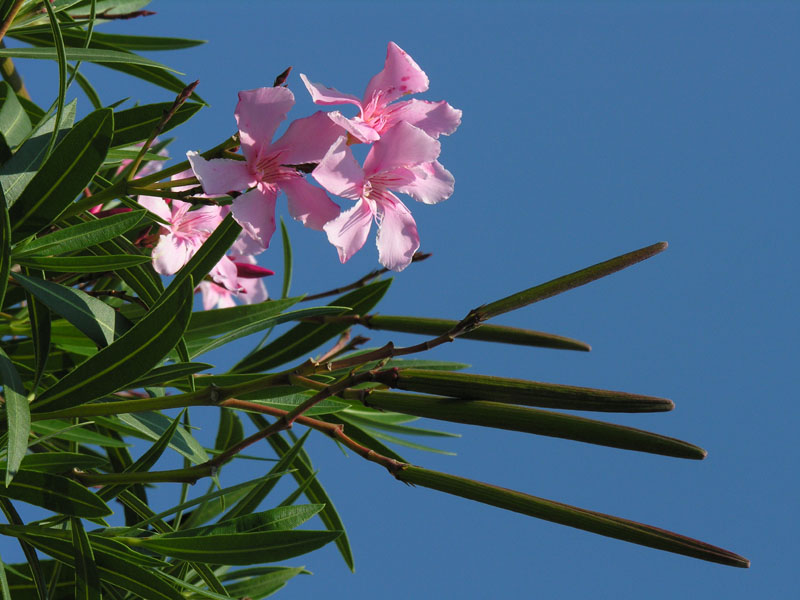 Oleander (Nerium oleander) als Zierpflanze in Gärten angepflanzt und zum Teil verwildert. Stammt aus dem Mittelmeerraum