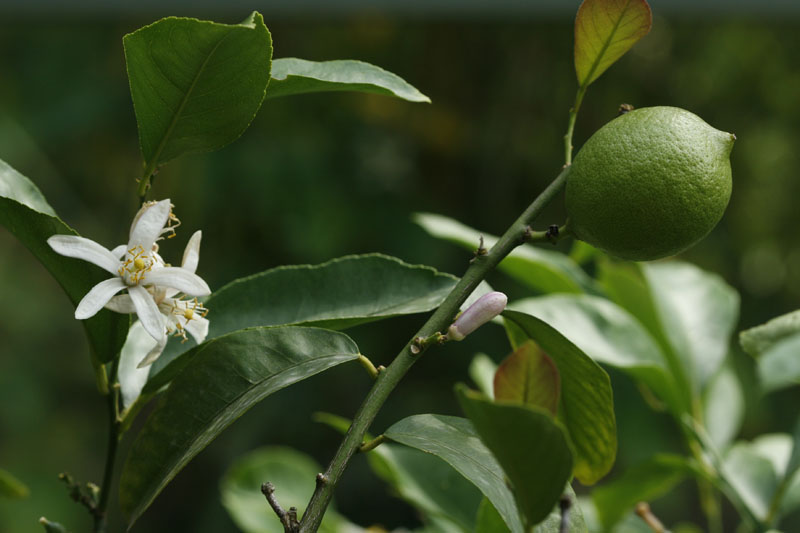 Zitronenbaum (Citrus limon)