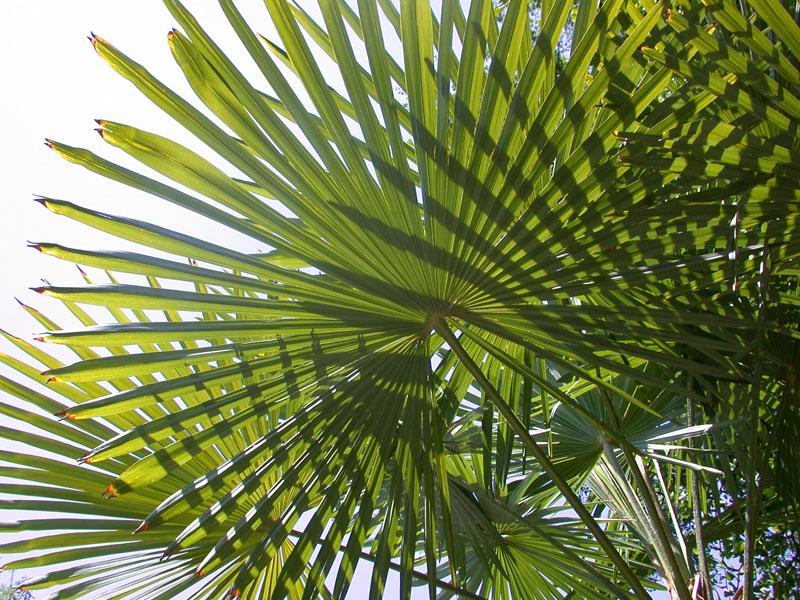 Chinesische Hanfpalme (Trachycarpus fortunei)