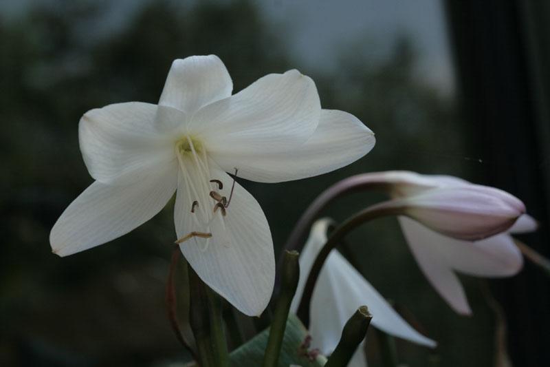 Busch-Hakenlilie (Crinum moorei)