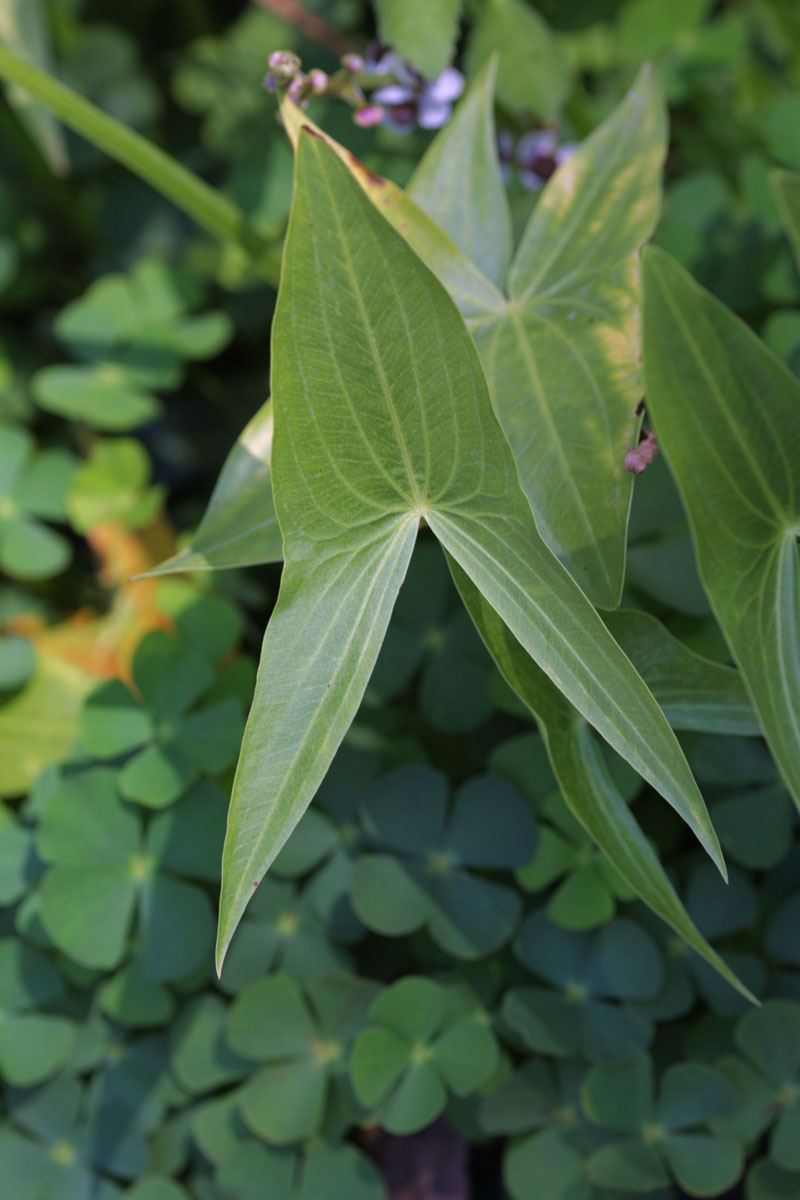 Echtes Pfeilkraut (Sagittaria sagittifolia) und vierblättriger Kleefarn (Marsilea quadrifolia)
