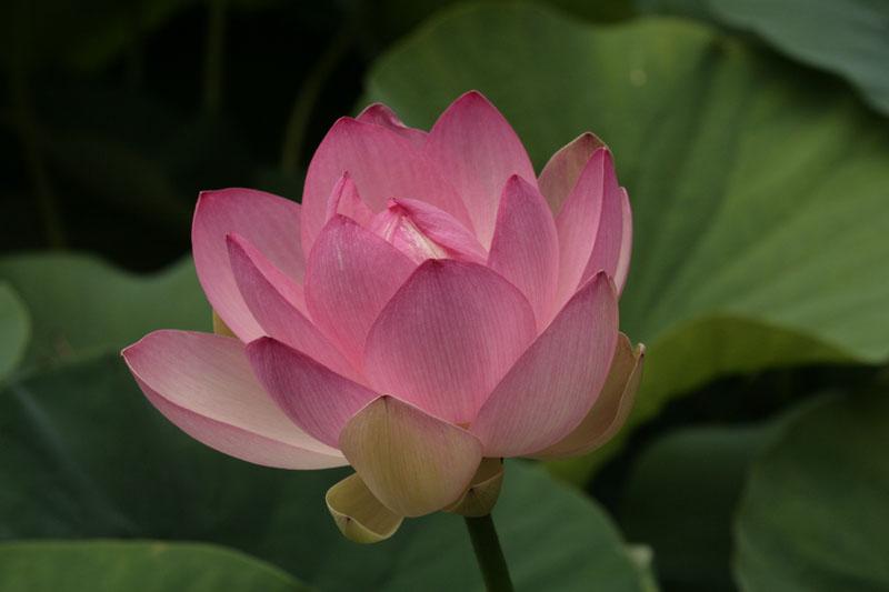 Indische Lotosblume (Nelumbo nucifera) ist zwar nicht einheimisch, gedeiht aber im hinteren Sumpftrog sehr gut und erzückt mit seinen wunderbaren Blüten