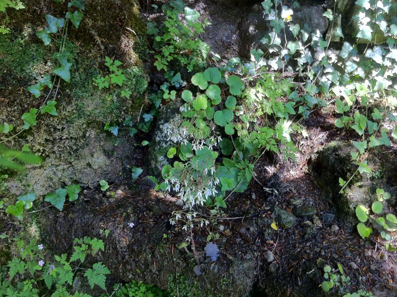 Kriechender Steinbrech (Saxifraga stolonifera)