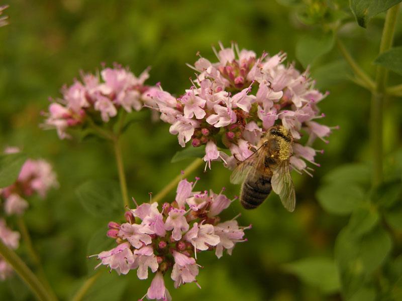 Honigbiene (Apis sp.) auf Wildem Dost (Oregano vulgare) mit Blütenstaub bepudert