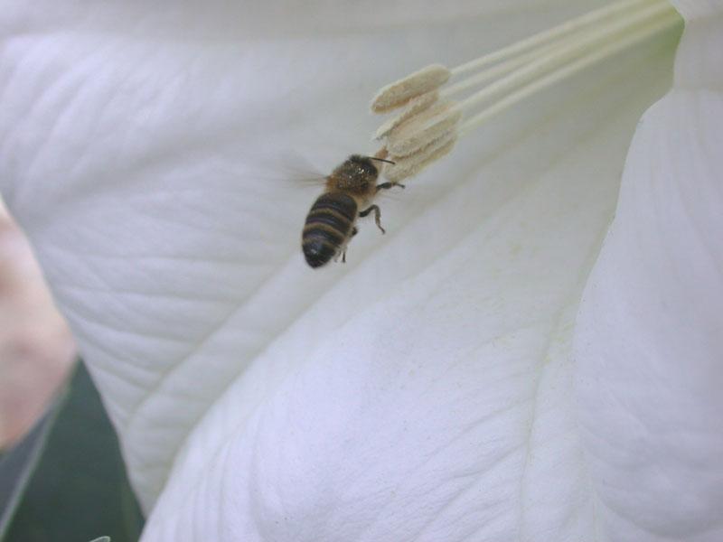 Honigbiene (Apis sp.) an Giftstechapfel-Blüte (Datura Innoxia)