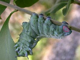 Atlasspinner (Attacus atlas): Raupe