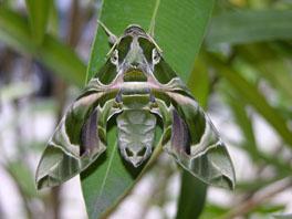 Oleanderschwärmer (Daphnis nerii)