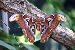 Vitrine Tropische Raupen und Schmetterlinge