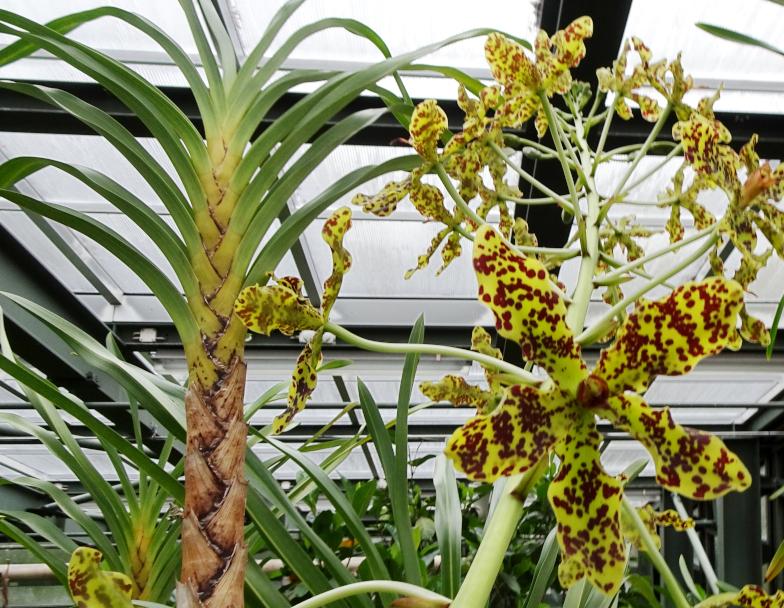 Foto: Tiger-Orchidee (Grammatophyllum speciosum Blume)