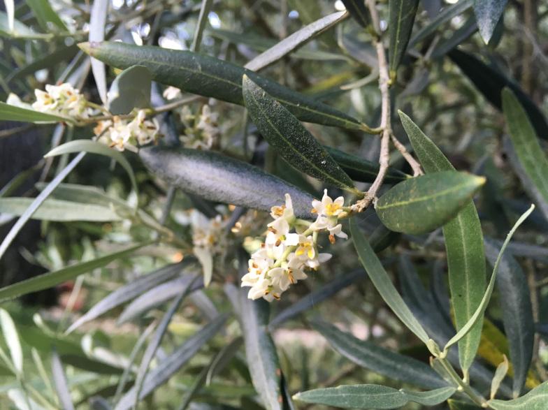 Blüten des Olivenbaumes (Olea europaea L.)