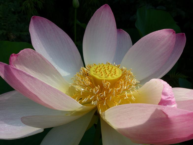 Indische Lotusblume (Nelumbo nucifera)