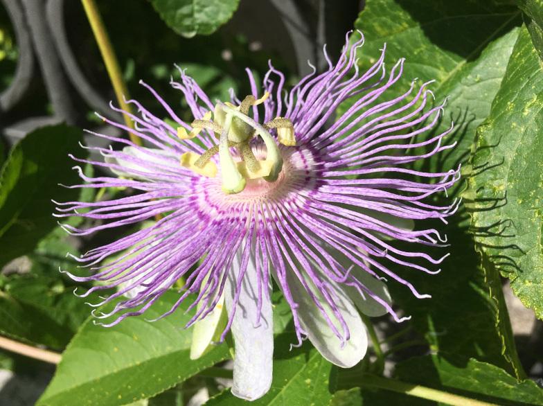 Winterharte Passionsblume ( Passiflora incarnate L.)
