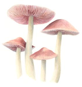 Illustration: Rosa Rettich-Helmling (Mycena rosea)