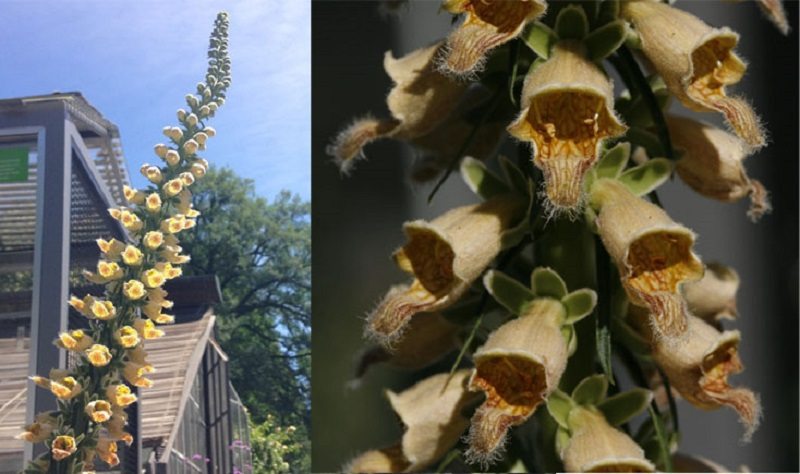 Gelber Herold (Digitalis ferruginea L.)