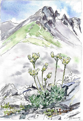 Illustration: Draba ladina (Ladiner Hungerblümchen)